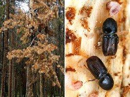 Борьба с вредителями жук короед