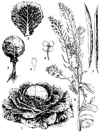Народнохозяйственное значение капусты белокочанной