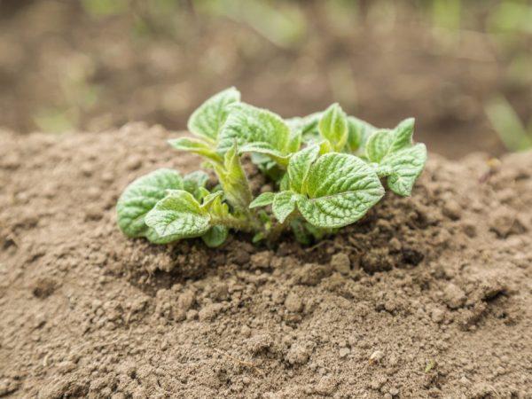 Почему не хочет всходить картофель возможные причины и что делать