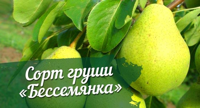 Груша Бессемянка - описание сорта, фото, отзывы садоводов