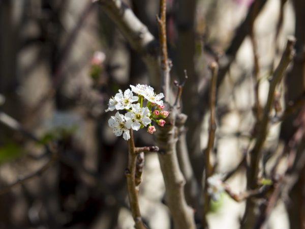 Как правильно привить грушу весной
