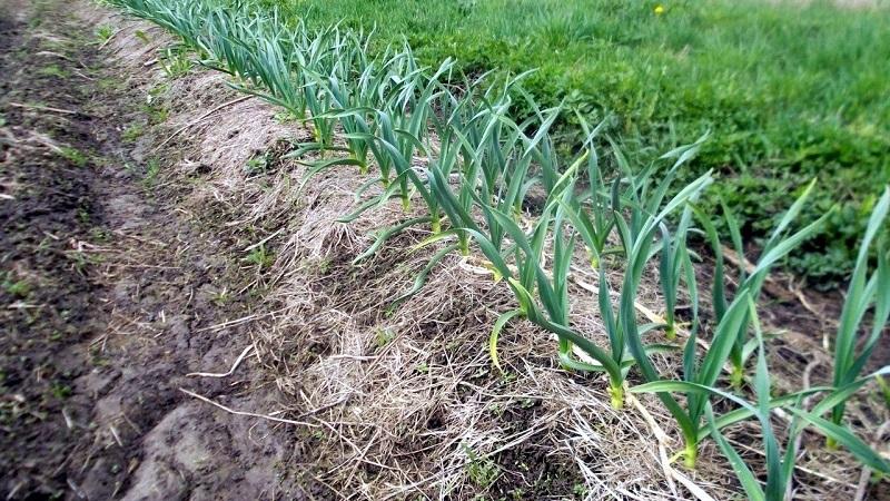 Чем обработать чеснок перед посадкой на зиму: подготовка почвы осенью и обработка посевного материала