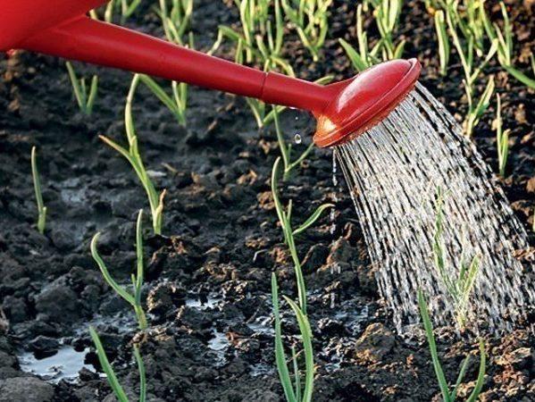 Чем удобрить землю осенью под чеснок. Удобрения при посадке чеснока осенью