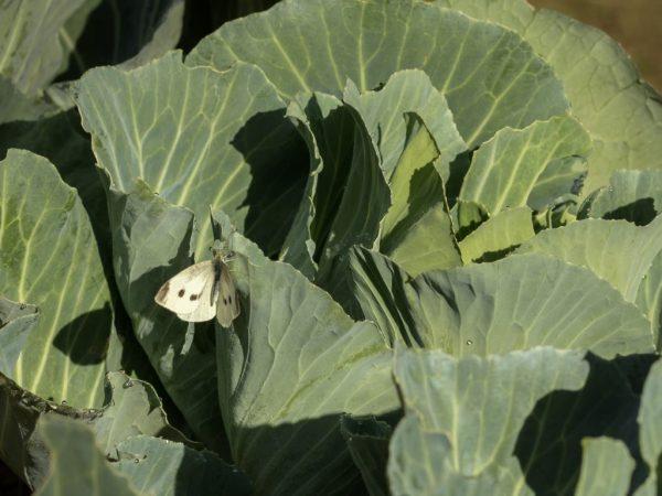 Чем питается капустная белянка