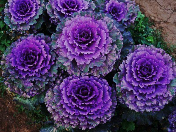 Декоративная капуста как называется цветок