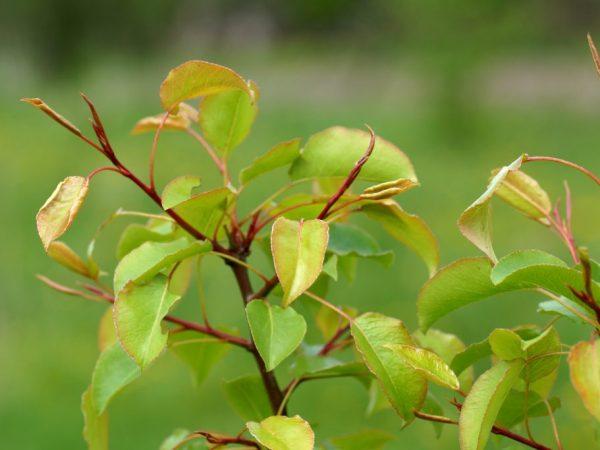 Сроки цветения груши