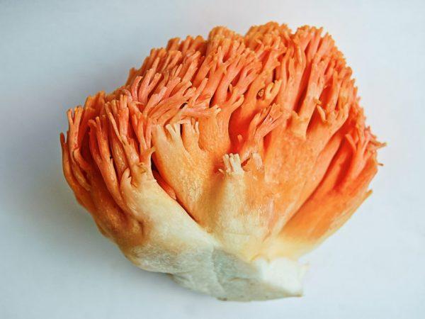 Рогатик гроздевой – гриб, похожий на куст