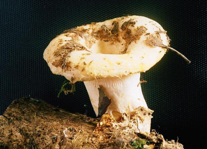 Внешнее строение нижней части шляпки трубчатого гриба