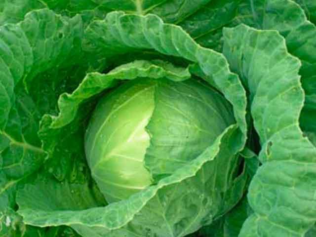 Чем полезна капуста белокочанная
