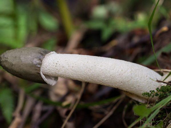 Что лечит гриб веселка обыкновенная