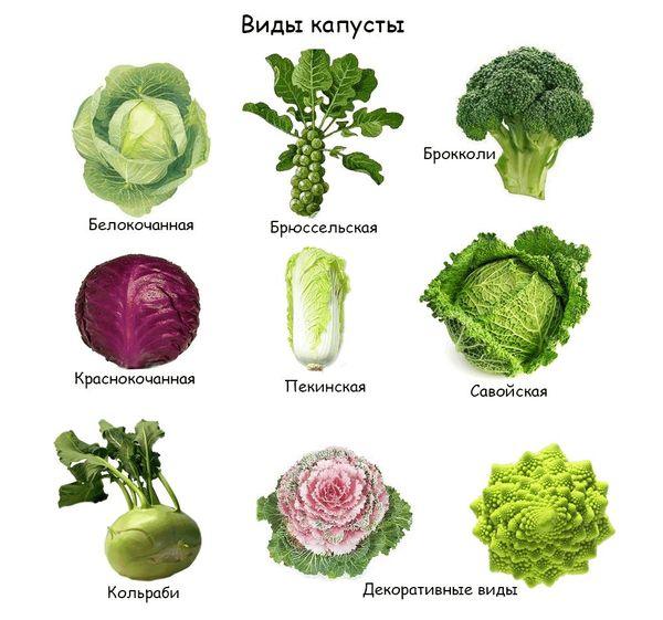 Сорта капусты белокочанной с названием и описанием