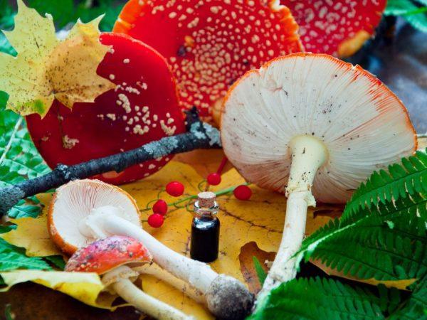 Лечебные свойства настойки мухомора