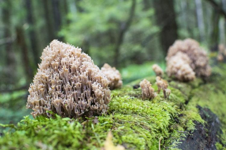 Ложные оленьи рожки грибы. Съедобные или нет грибы рогатики (оленьи ножки)?