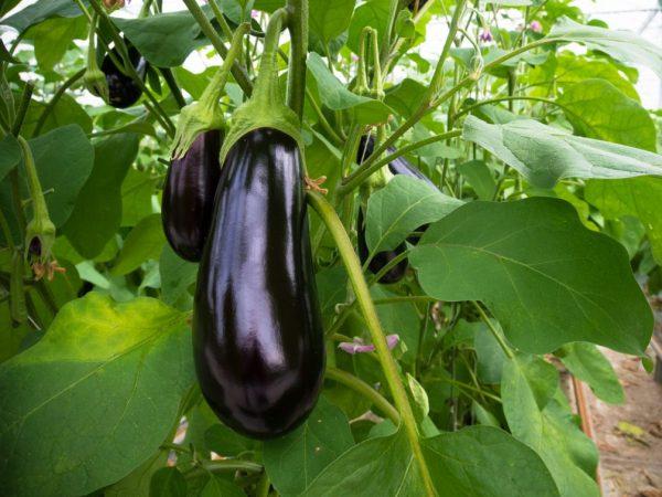 Баклажан является овощем или ягодой