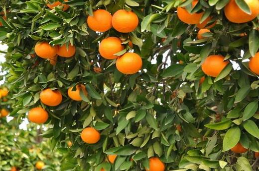 Где и как растут апельсины в России и не только, как выглядит цветок фото