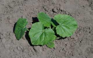 Температура для выращивания кабачков в открытом грунте