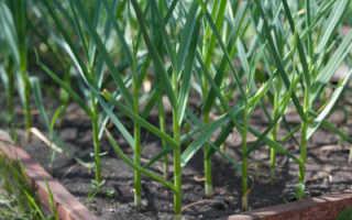 Правила ухода за озимым чесноком весной; сельскохозяйственный сайт