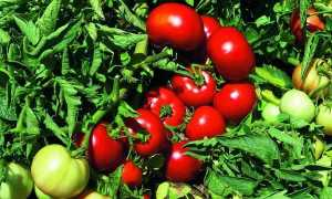 Томат Импала F1: характеристика и описание сорта, фото, отзывы, урожайность