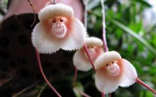 Характеристика орхидеи Дракула (Обезьянья Мордочка)