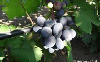 Виноград Руслан: описание и характеристика сорта, особенности ухода и фото