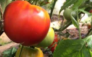 Изобильный томат: описание и характеристика, особенности посадки и выращивания, болезни и вредители, достоинства и недостатки