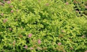Спирея карликовая японская (лилипут или короткая) – сорта, фото и описание, посадка и уход
