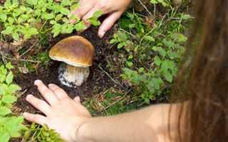 Описание желчного гриба