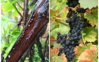 Борьба со щитовкой на винограде