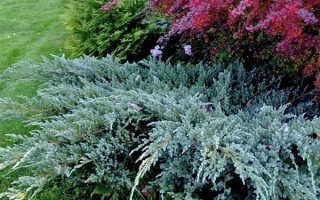 Можжевельник Блю Карпет: неприхотливый кустарник с необычным цветом хвои