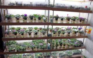 Вянут листья фиалки: что делать, как спасти цветок