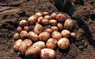 Внесение минеральных удобрений для картофеля