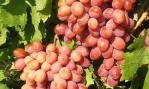 Виноград Анюта: описание и характеристика сорта, особенности ухода и фото