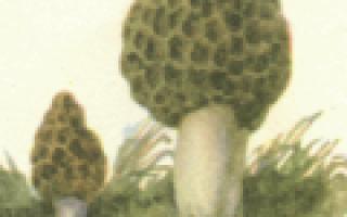 Описание Сумчатых грибов
