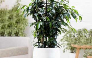 Figer Figer Daniel: Как посадить, культивировать, удобрять, воспроизводить