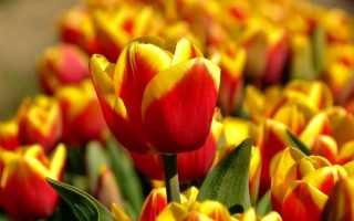 Посадка тюльпанов осенью