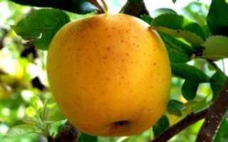 Яблоня корейя: подробное описание сорта с фото, отзывы садоводов