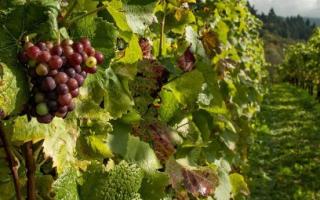 Обработка винограда ранней весной