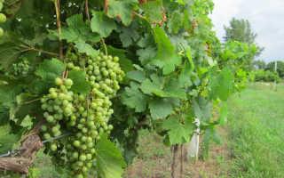 Правила посадки винограда черенками осенью