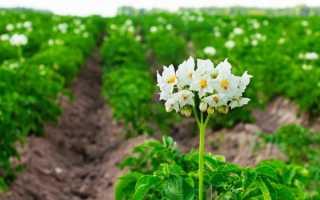 Правила выращивания картофеля в открытом грунте