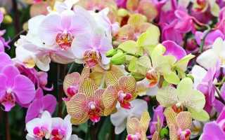 Характеристика Оранжевой орхидеи