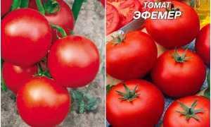 Томат эфемера: характеристика сорта и описание, отзывы, урожайность, фото