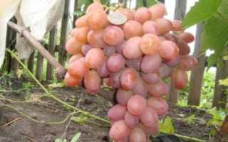 Особенности винограда Хамелеон