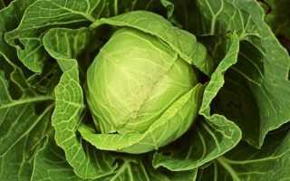 Какие существуют сорта белокочанной капусты