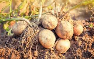 Описание картофеля Рамос