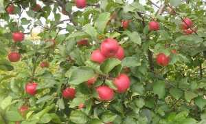 Яблоня Хорошая новость: описание сорта, главные советы по выращиванию