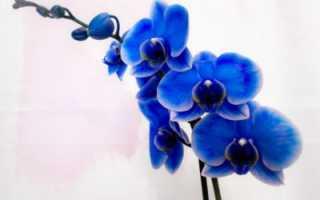 Уход за голубой и синей орхидеей
