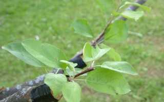 Прививка груши весной, летом и осенью