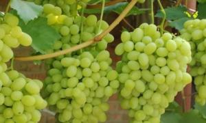 Виноград лилии: Описание разнообразия с характеристиками и обзорами, Особенности посадки и роста, фото