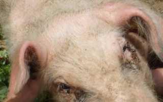 Отказавшие задние лапы у поросенка: причины, лечение