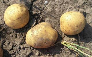 Описание картофеля Леди Клер